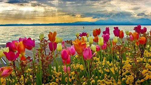 flower-colorful-tulips-flowers-sunset-lake-colors-sky-pink-water-nature-yellow-purple-orange-clouds-green-leaves-spring-garda-wallpaper-2016-1366x768